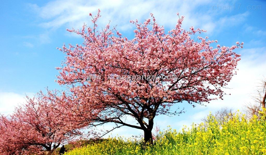 桃樹兒童簡筆畫圖片