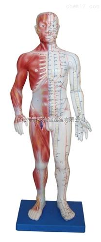 人体针灸模型 178CM(带肌肉解剖)|中医专科训练模型