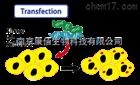 kinase 激酶稳定细胞株