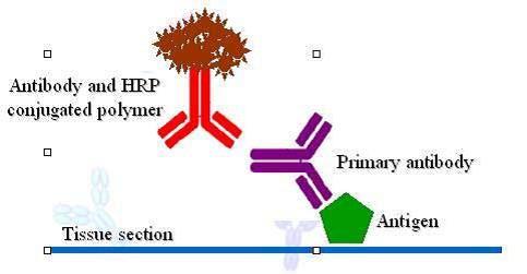 把某一抗原免疫某种动物而得到单抗或多抗.