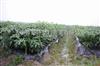 天津专业生产地膜—黑色地膜—优质地膜批发—除草地膜