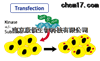 CBP73XXXXkinase 激酶稳定细胞株